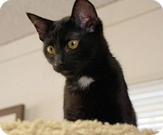 Domestic Shorthair Cat for adoption in Chattanooga, Tennessee - Zeppo