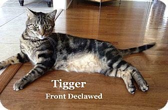 American Shorthair Cat for adoption in Bentonville, Arkansas - Tigger