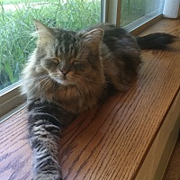 Persian Cat for adoption in Chesterfield Township, Michigan - Tiger