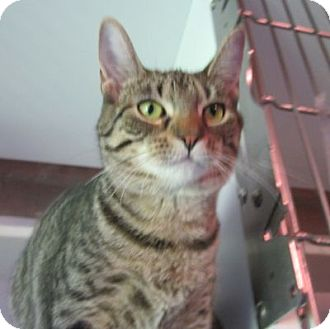 Domestic Shorthair Cat for adoption in Lyons, New York - Minnie