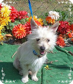 Cairn Terrier Mix Dog for adoption in Marietta, Georgia - CUPID (R)