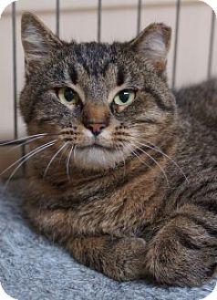Domestic Shorthair Cat for adoption in Medford, Massachusetts - Anita
