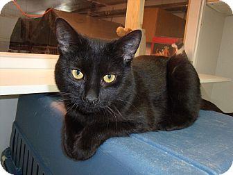 Domestic Shorthair Cat for adoption in Worcester, Massachusetts - CoaL