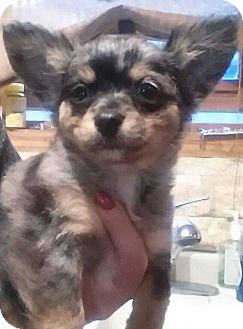 Chihuahua/Pomeranian Mix Puppy for adoption in Plainfield, Illinois - Darth