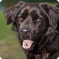 Flat-Coated Retriever Mix Dog for adoption in Loxahatchee, Florida - Rodney