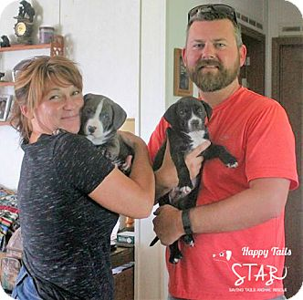 Staffordshire Bull Terrier/American Bulldog Mix Puppy for adoption in Northville, Michigan - zEE16 Luke -ADOPTED