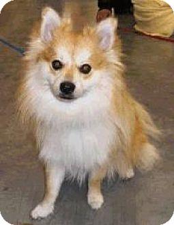Pomeranian Mix Dog for adoption in Lafayette, Louisiana - Jacques