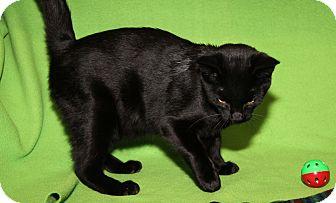 Domestic Shorthair Cat for adoption in Marietta, Ohio - Black Knight (Neutered)