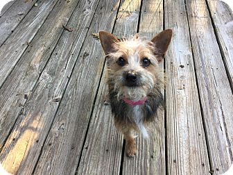 Yorkie, Yorkshire Terrier/Terrier (Unknown Type, Small) Mix Dog for adoption in Fort Atkinson, Wisconsin - Bart