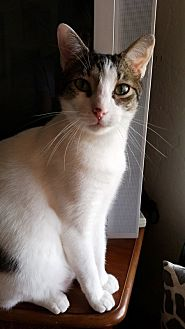 Domestic Shorthair Cat for adoption in Tampa, Florida - Shoshone (Buddy)