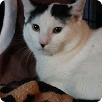 Adopt A Pet :: MILKSHAKE - Mesa, AZ