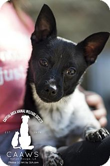 Chihuahua Mix Dog for adoption in Baton Rouge, Louisiana - Isaac