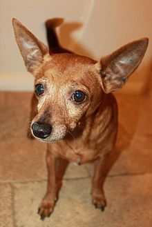 Chihuahua Mix Dog for adoption in Buckeye, Arizona - Taco