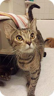 Domestic Shorthair Cat for adoption in Orlando, Florida - Carmela