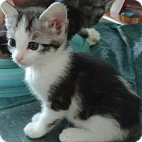 Adopt A Pet :: Angelica - Euless, TX