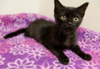 Domestic Shorthair/Domestic Shorthair Mix Cat for adoption in Portage, Wisconsin - Bobbi No Nose