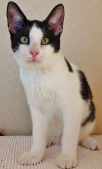 Domestic Shorthair/Domestic Shorthair Mix Cat for adoption in Fredericksburg, Texas - Rio