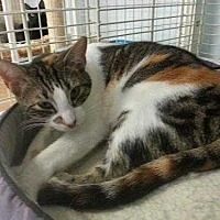 Domestic Shorthair Cat for adoption in Margate, Florida - Sunshine