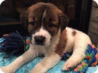 Great Pyrenees/Spaniel (Unknown Type) Mix Puppy for adoption in Hillsboro, Missouri - Parmesan