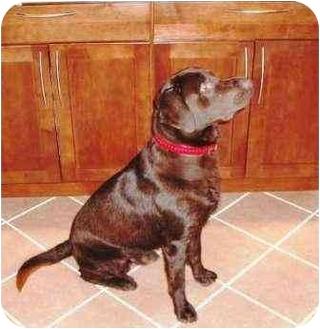 Labrador Retriever Dog for adoption in Salem, Massachusetts - Tobe