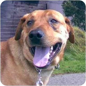 Labrador Retriever Mix Dog for adoption in Berkeley, California - Angelo