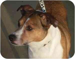 Smooth Fox Terrier Mix Dog for adoption in Olive Branch, Mississippi - Hannah