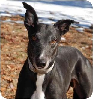 Greyhound Dog for adoption in Ware, Massachusetts - Bubba