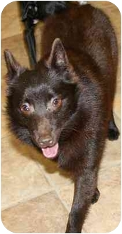 Schipperke Dog for adoption in House Springs, Missouri - Spicy