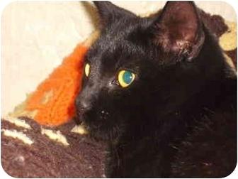 Domestic Shorthair Kitten for adoption in Morris, Pennsylvania - Scamp