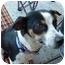 Photo 4 - Rat Terrier Mix Dog for adoption in Vista, California - Victoria