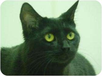 Domestic Shorthair Cat for adoption in Oshkosh, Wisconsin - Pounce