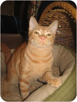 Domestic Shorthair Cat for adoption in Hendersonville, Tennessee - Georgie