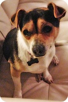 Beagle/Parson Russell Terrier Mix Dog for adoption in Mission Viejo, California - VALENTINO