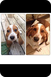Basset Hound Puppy for adoption in Cranford, New Jersey - Columbo