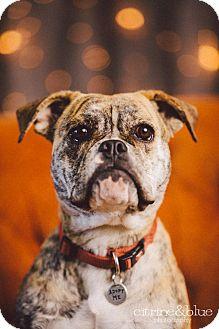 English Bulldog Mix Dog for adoption in Portland, Oregon - Dandelion