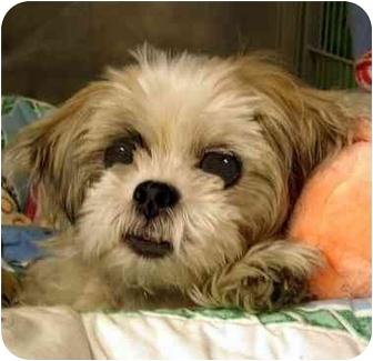 Shih Tzu Mix Dog for adoption in New York, New York - Jett
