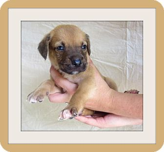 Boxer Mix Puppy for adoption in Woodlyn, Pennsylvania - Ciadic