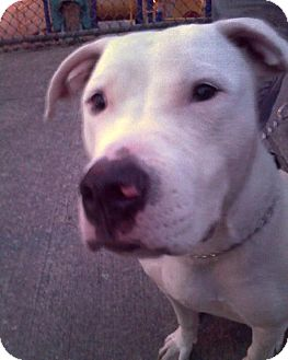 Pit Bull Terrier/Bull Terrier Mix Dog for adoption in New York, New York - Eight