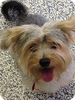 Yorkie, Yorkshire Terrier/Terrier (Unknown Type, Small) Mix Dog for adoption in Washington, Pennsylvania - Niko