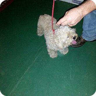 Lhasa Apso/Poodle (Standard) Mix Dog for adoption in Buchanan Dam, Texas - Casper