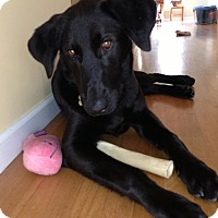 Adopt A Pet :: *Blaine - PENDING - Westport, CT