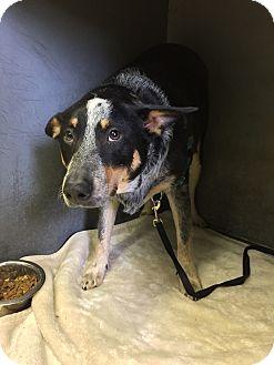 Blue Heeler Mix Dog for adoption in Littleton, Colorado - WAFFLE (Referral)