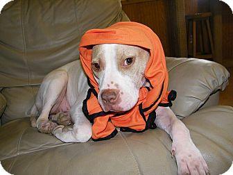 American Staffordshire Terrier/Bull Terrier Mix Dog for adoption in Avon, Ohio - Miriam