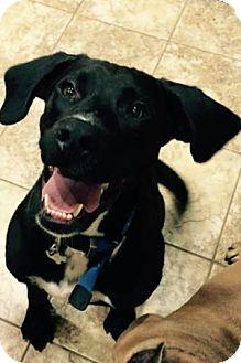 Labrador Retriever Mix Dog for adoption in West Hartford, Connecticut - Lincoln