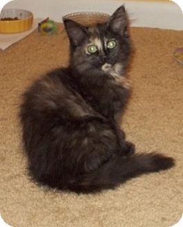 Domestic Longhair Kitten for adoption in Covington, Kentucky - Heidi