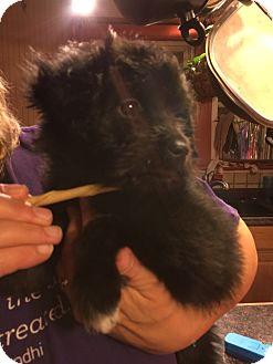 Maltese/Poodle (Miniature) Mix Puppy for adoption in Va Beach, Virginia - Stuart
