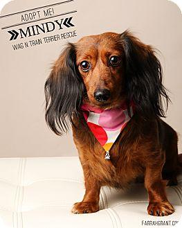Dachshund Dog for adoption in Omaha, Nebraska - Mindy-Pending Adoption