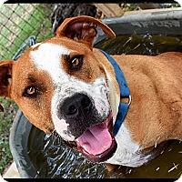 Adopt A Pet :: Cowboy - Austin, TX