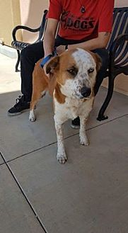Australian Cattle Dog Mix Dog for adoption in Fresno, California - Dawn