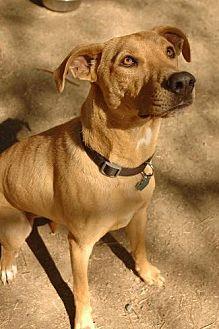 Labrador Retriever Mix Dog for adoption in Pt. Richmond, California - COCO